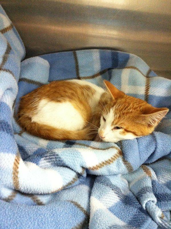 Adopt Faith the Kitten